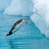 A penguin diving into  Paradise Bay, Antarctica