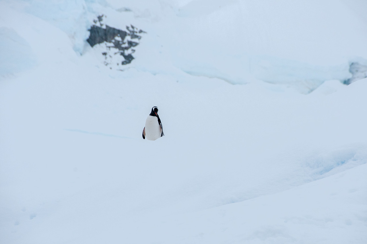 Gento penguin on ice in Paradise Bay