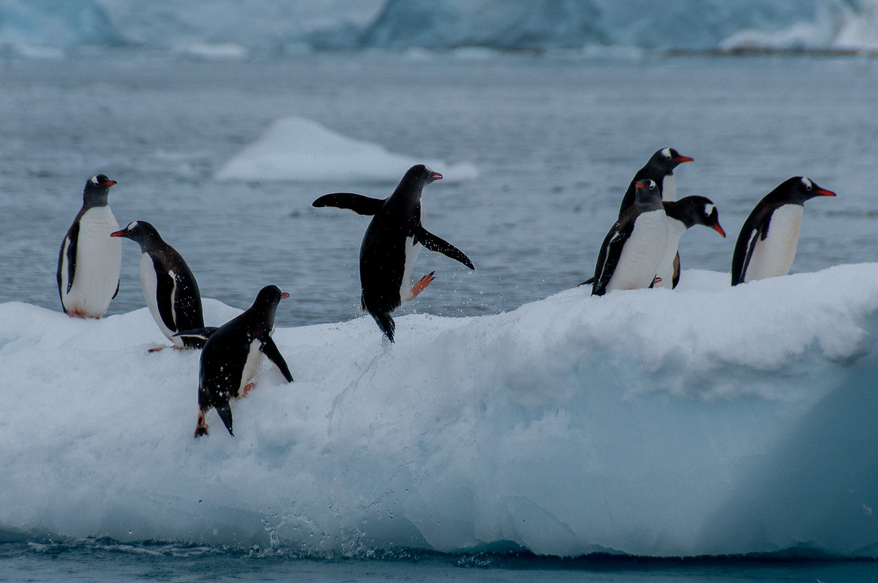 Gento penguins jumping out of water in Paradise Bay