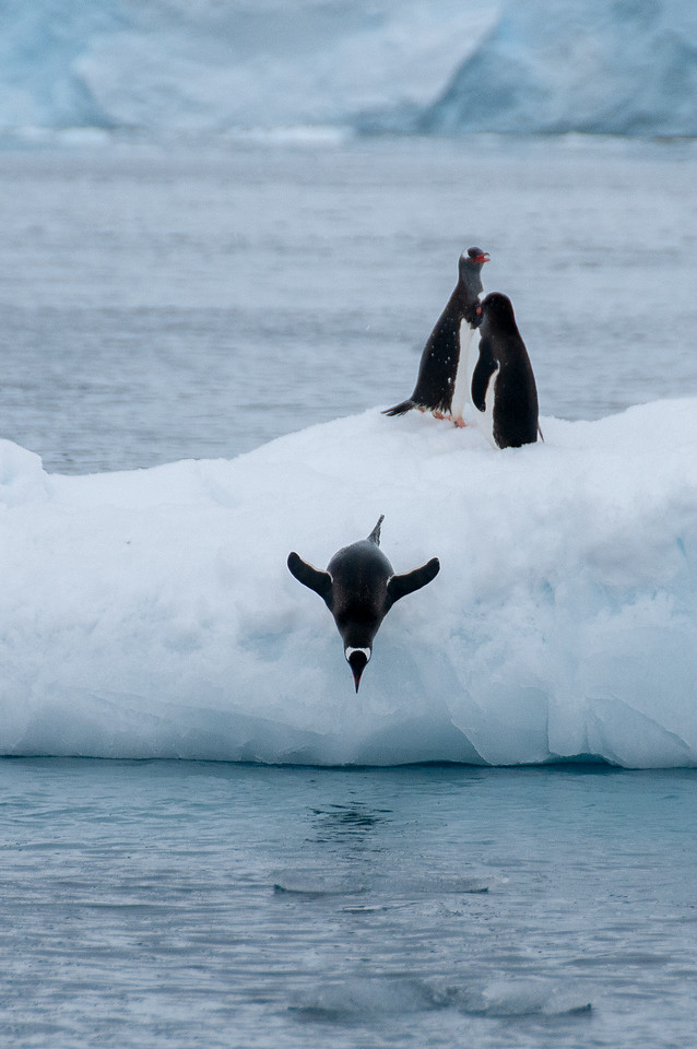 Penguin diving in Paradise Bay