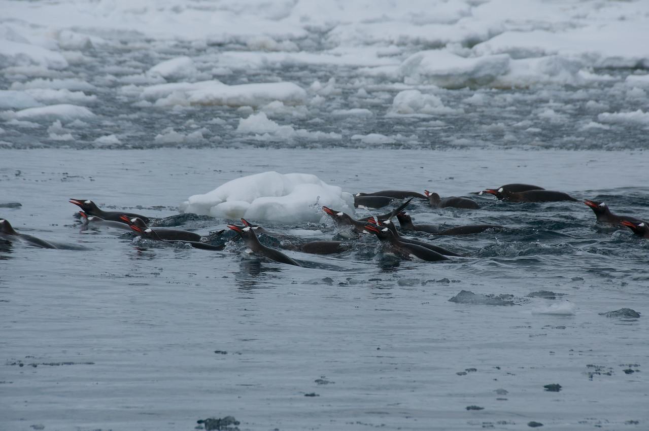 School of swimming gentoo penguins in Pleneau Bay
