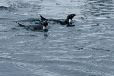 School of swimming gentoo penguins in Pleneau Bay