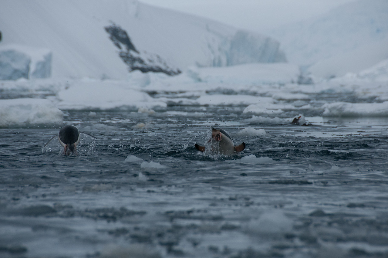 Penguins swimming in Pleneau Bay, Antarctica