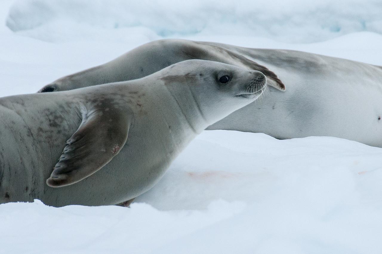 Seals in Pleneau Bay, Antarctica