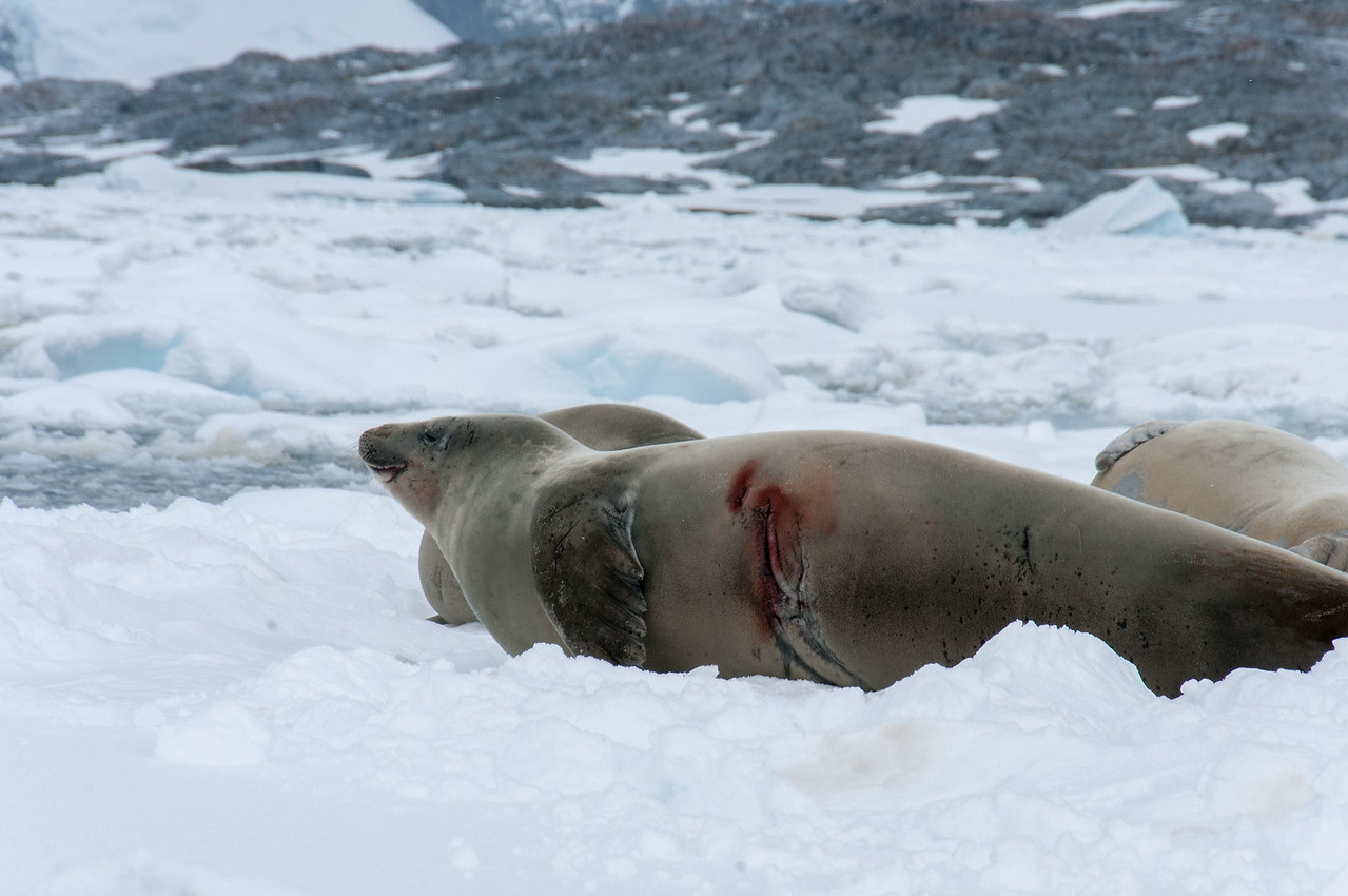Seals in Pleneau Bay, Antarctica