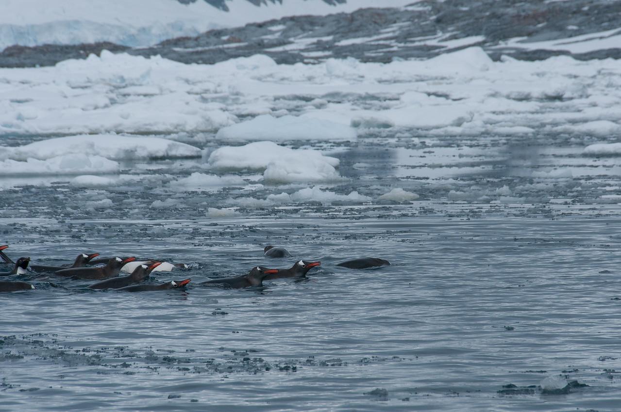 Penguins swimming in Pleneau Bay, Antarctica
