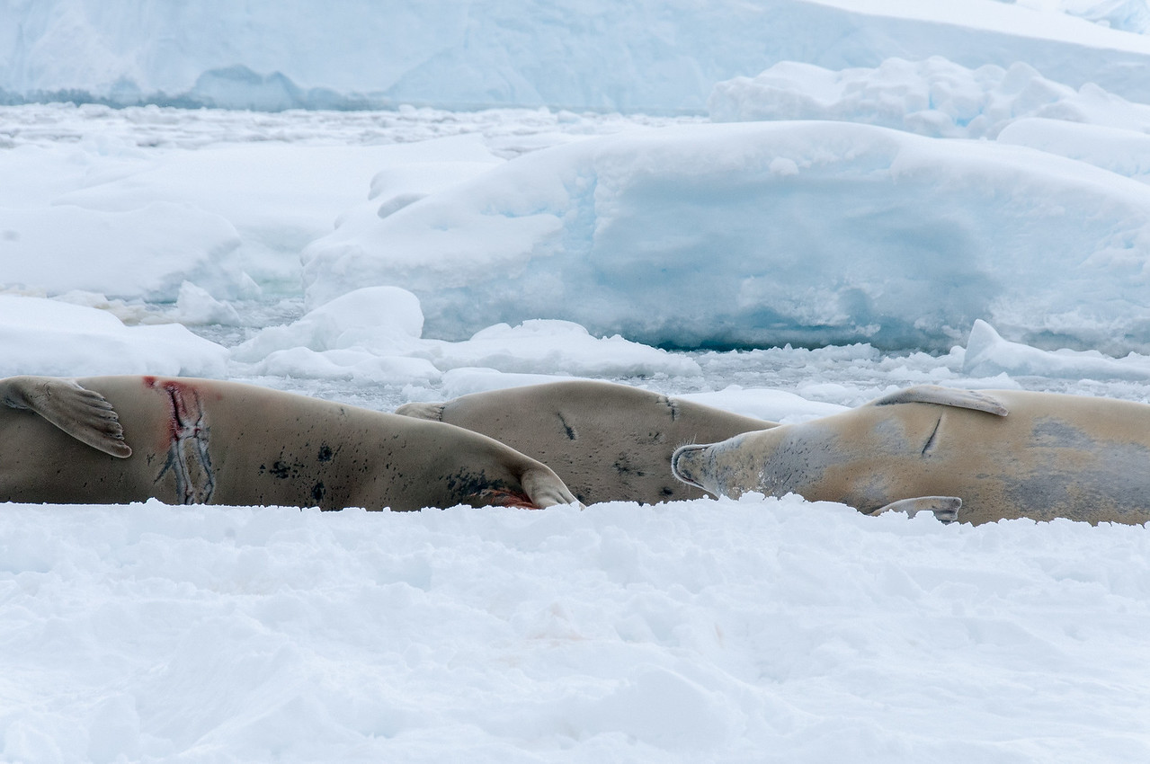 Seals in Pleneau Bay, Antartica
