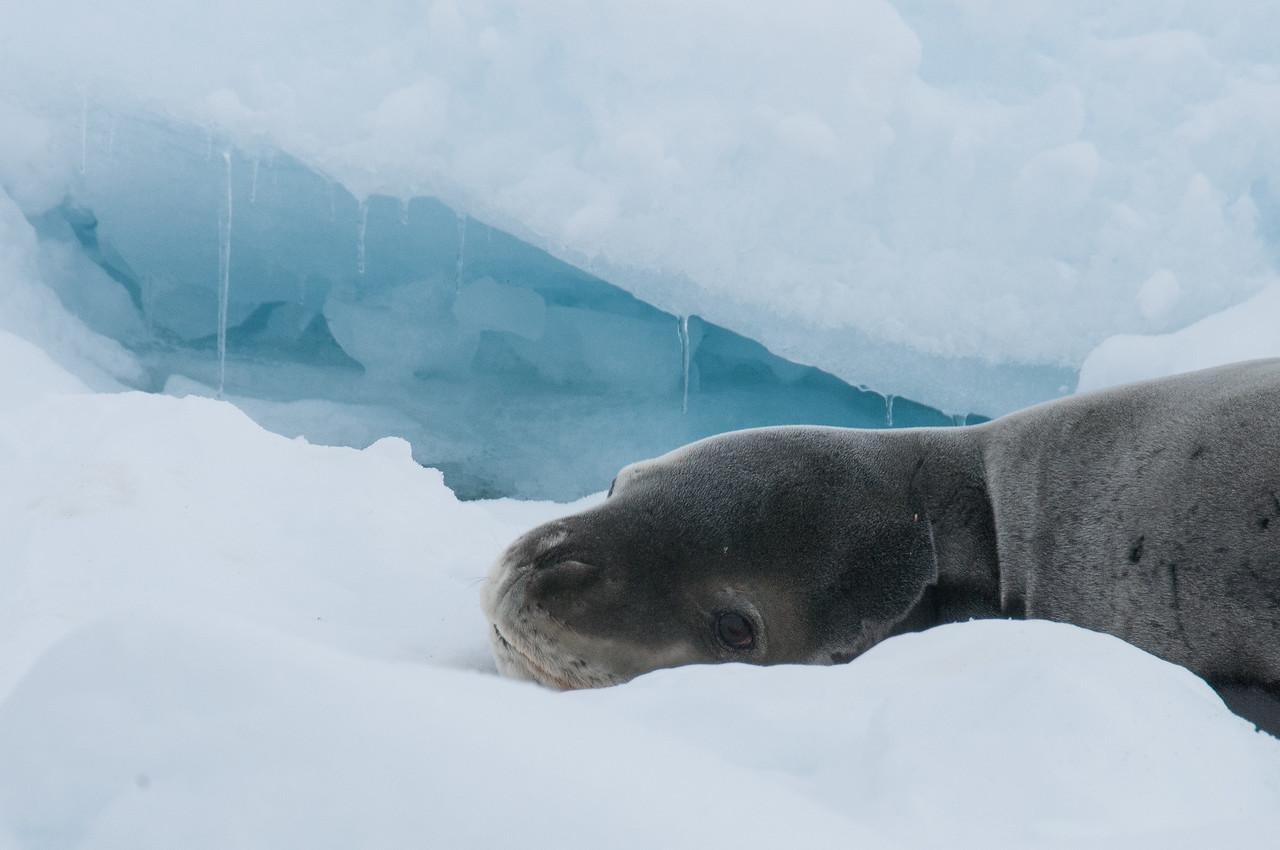 Seal in Pleneau Bay, Antarctica
