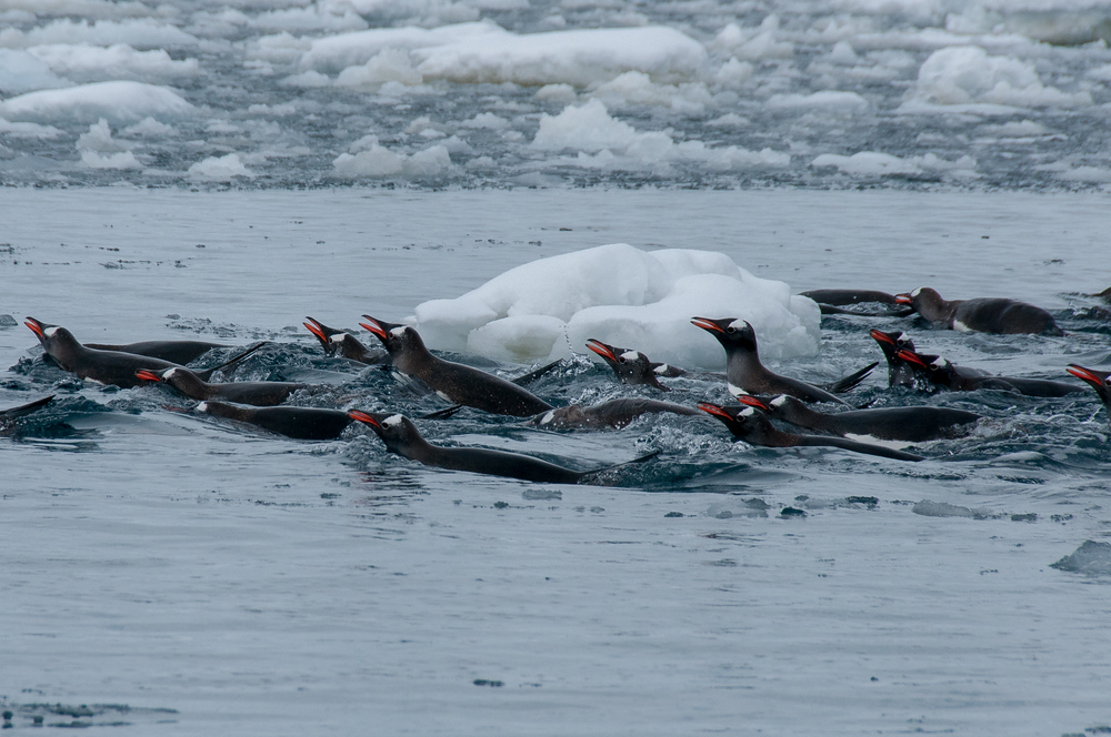Penguins in Pleaneu Bay, Antarctica