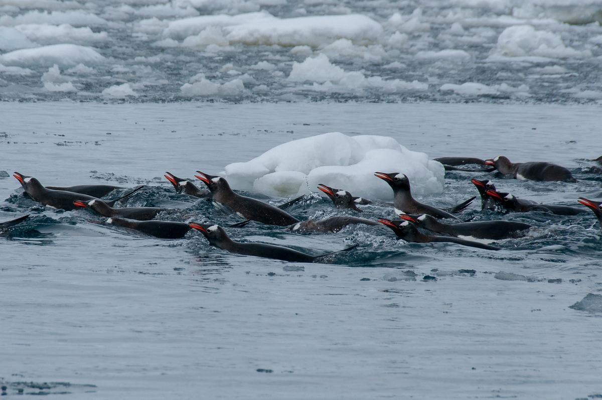 Penguins in Pleaneu Bay, Antarctica
