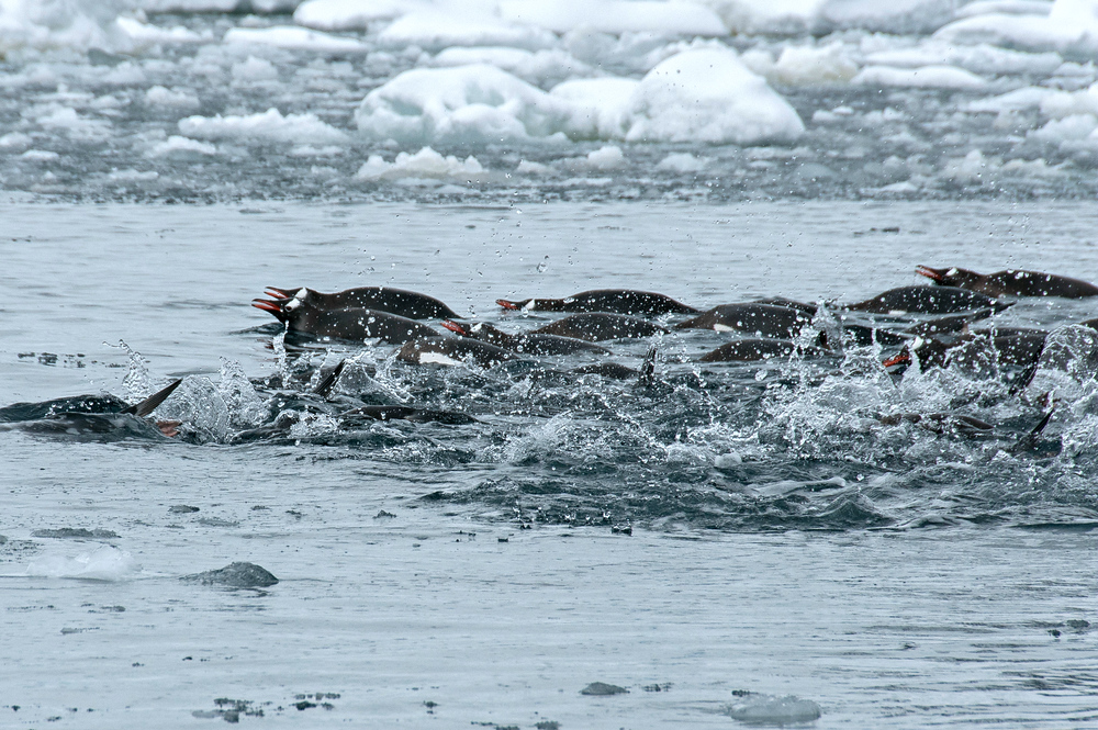 A school of swimming gentoo penguins in Pleaneu Bay, Antarctica