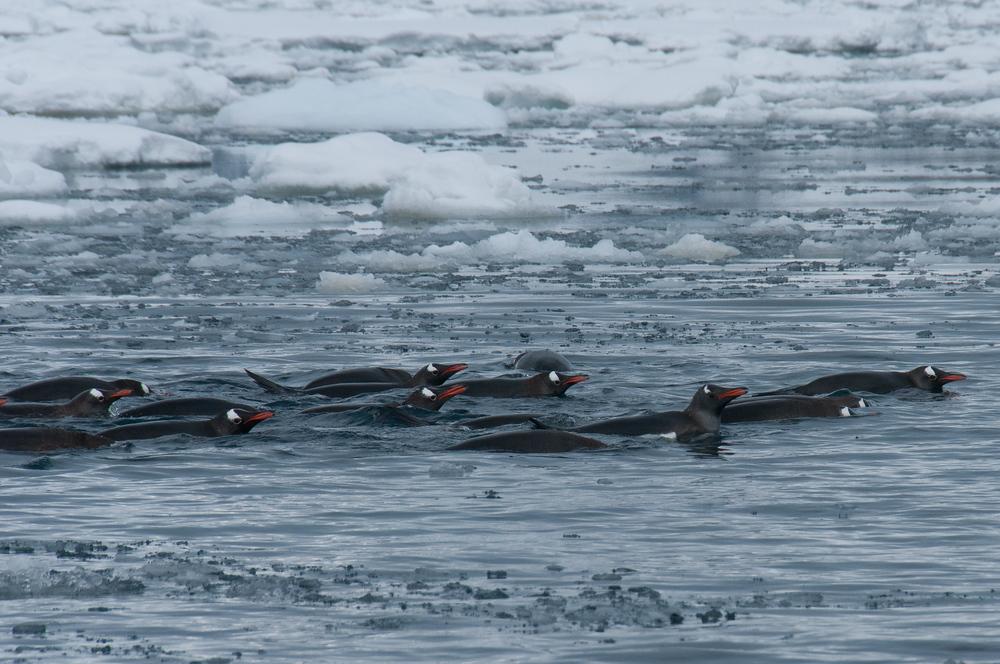 School of gentoo penguins swimming in Pleaneu Bay, Antarctica