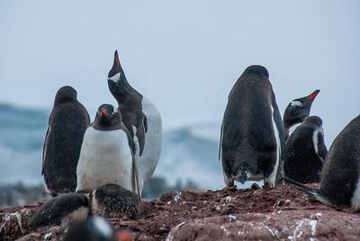 Gento penguin posing at Port Lockroy