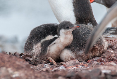 Baby penguin in Port Lockroy