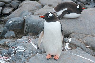 Gento penguins in Port Lockroy