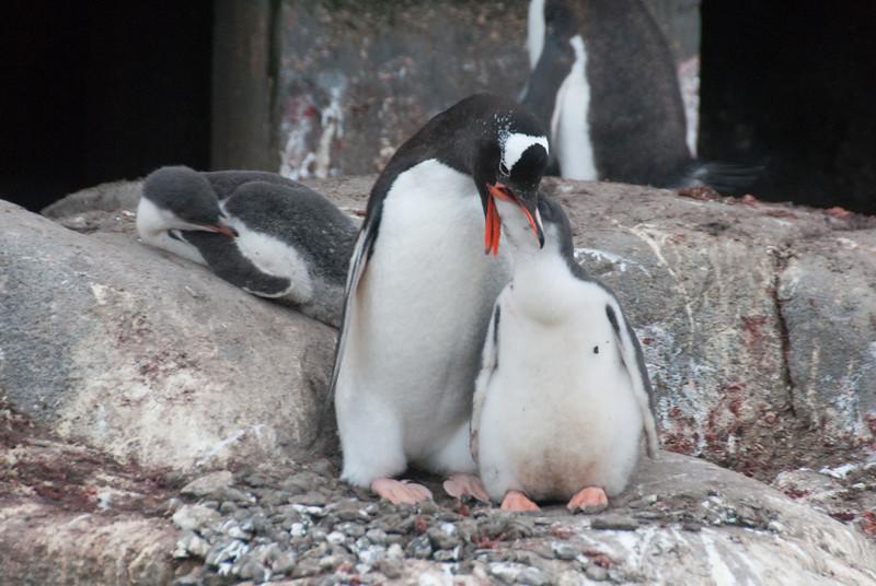 Feeding Gento penguins at Port Lockroy