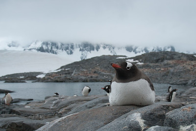 Penguin in Port Lockroy