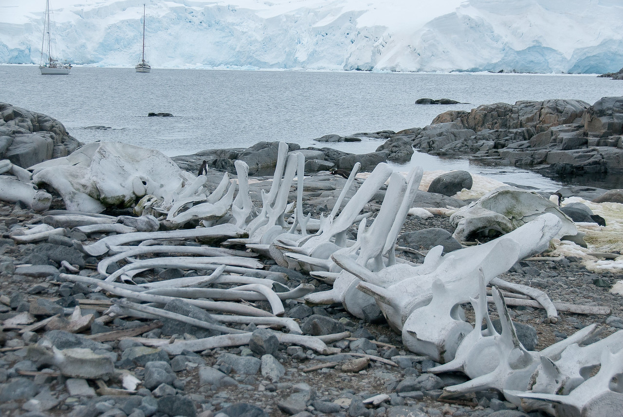 Bones in Port Lockroy