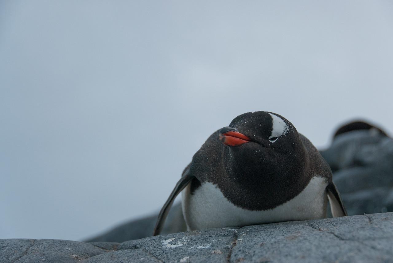 Gento penguin in Port Lockroy