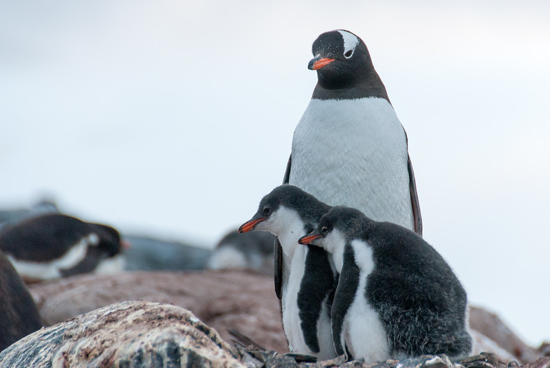 Gento chicks and mother at Port Lockroy