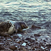 Weddell Seal lays along the shoreline at Paulet Island.