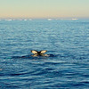 Humpback whale fluke (tail) as the whales swam around our ship for a while as we traveled toward the Antarctic Peninsula. Weddell Sea
