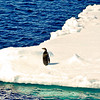 An Emperor Penguin sitting on a large piece of floating ice. Weddell Sea
