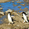 A couple of Adelie Penguins move across a stream along the Penguin Highway on Paulet Island. Antarctic Peninsula