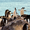 An ecstatic display by the Adelie Penguin in the center. Paulet Island, Antarctic Peninsula