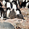 Adelie Penguins on Paulet Island. They seem so expressive in their eyes. They are mid-sized in length at 46 to 75 cm (18 to 30 in). They got their name from a French Explorer in 1840 who named them after his wife, Adelie.