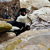 Rockhopper penguin couple with chick.New Island in the Falkland Islands