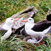 Same Black Browed Albatross couple as in the last picture, showing baby chick more clearly. New Island, Falkland Islands