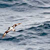 A different view of another of the many Pintado Petrels flying alongside our ship on the way to the Falkland Islands.