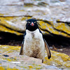 """Rockhopper Penguin up close (technically a """"Southern Rockhopper Penguin"""") in the colony at New Island. They sort of have that """"punk-rocker"""" look. They are a fairly small penguin, standing approximately 45–58 cm (18–23 in) tall. Falkland Islands"""
