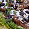 Another step in the affection routine between Black Browed Albatrosses. A couple will rub their beaks and do the above periodically as they become intimate with each other. New Island, Falkland Islands