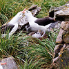 Black Browed albatross couple showing affection to each other. Note their chick in the nest on the right. New Island, Falkland Islands