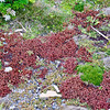 More pretty ground cover in some sections on New Island, Falkland Islands