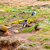 Magellanic Penguins on New Island, Falkland Islands. The Magellanic Penguins are a medium sized penguin (61–76 cm or 24–30 in tall)  and fairly common along the shores of Argentina, Chile and the Falklands.