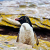 Another view of the Rockhopper Penguin at the colony on New Island, in the Falkland Islands.