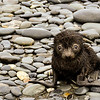 Baby fur seal on Salisbury Plain in the Northwest part of South Georgia. They are so cute when babies that it is tempting to take one home! However, they'll become quite a handful as they grow bigger--and eat more. <br /> Salisbury Plain, South Georgia