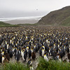 Huge King Penguin colony at Salisbury Plain. The colony stretches well off into the distance and some estimate that their are over 200,000 King Penguins here during the breeding season.