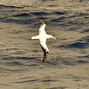 Wandering Albatross flying alongside our ship in the seas near South Georgia. The Wandering Albatross has the longest wingspan of any bird in the world, measuring at lengths of 2.51–3.50 m (8.2–11.5 ft)--slightly larger than the Andean Condor