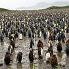 King Penguins, similar to Emperor Penguins, gather in big crowds for warmth. Salisbury Plain, South Georgia