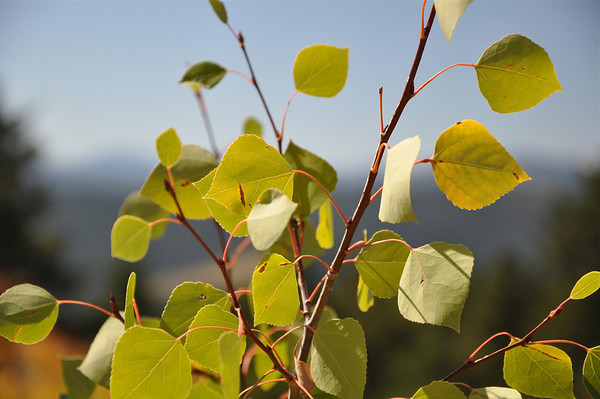 Aspen leaves without gold leaf dip popular in jewelry.