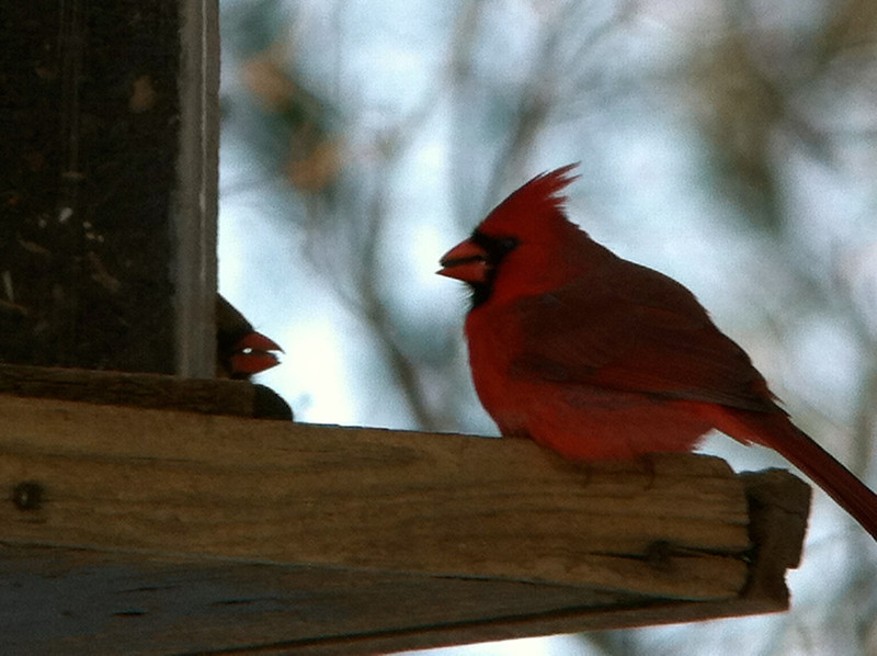 Northern Male Cardinal