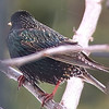 European Starling-Breeding