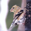 American Goldfinch-Winter