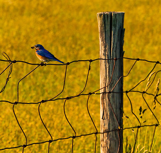 Bird on a wire fence at Antietam National Battlefield, Maryland.