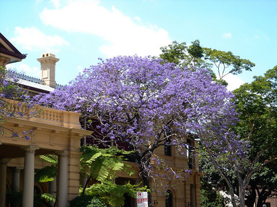 Springtime in Brisbane outside the Stamford Hotel directly opposite the Grosvenor Apartments