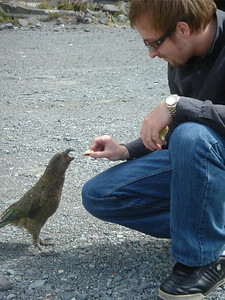 Alex feeding a Kea (type of parrot) outside Homer Tunnel to Milford Sound South Island, New Zealand 2005 There is a strong recommendation not to feed these birds by the tourist authorities.  The single lane tunnel causes lengthy waits and the birds descend looking for food. They take to stripping windscreen wipers and any other flexible material from vehicles if frustrated. As usual, Alex took the path less travelled...